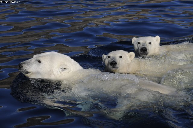 Ourse et oursons polaires